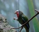 Amazona-Cubana-(7)