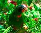 Amazona-Cubana-(9)