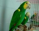 Amazona-de-hombro-gualda-(3)