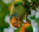 Amazona-del-Cerrado-(5)