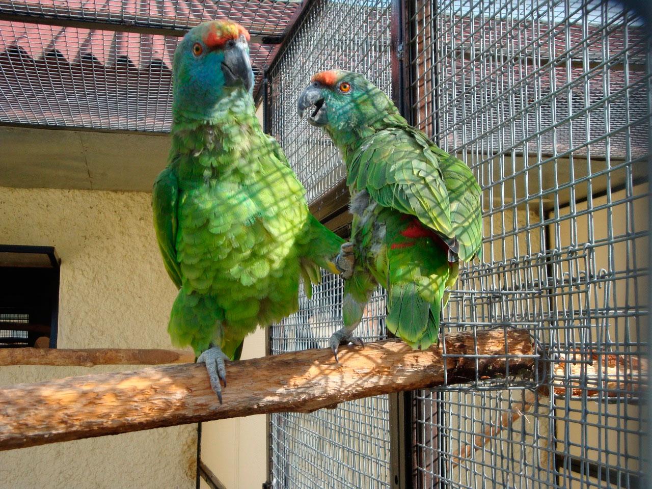 amazona festiva amazona festiva aves exoticas mascotas