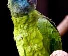 Amazona-festiva-(2)