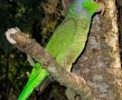 Amazona-Guayabera-(7)