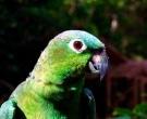 Amazona-harinosa-nortena-(5)