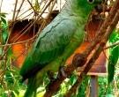 Amazona-harinosa-surena-(2)
