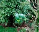 Amazona-harinosa-surena-(3)
