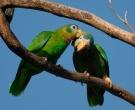 Amazona-Jamaicana-Piquiclara-(3)
