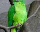 Amazona-Jamaicana-Piquioscura-(2)