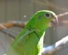 Amazona-Jamaicana-Piquioscura-(3)