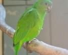 Amazona-Jamaicana-Piquioscura-(4)