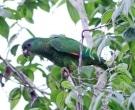Amazona-Jamaicana-Piquioscura-(5)