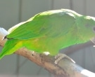 Amazona-Jamaicana-Piquioscura-(6)