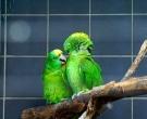 Amazona-nuquigualda-(3)