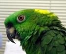 Amazona-nuquigualda-(8)