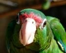 Amazona-vittata-(2)