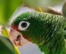 Amazona-vittata-(4)