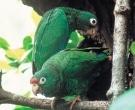 Amazona-vittata-(5)