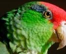 Amazona-Tamaulipeca-(4)