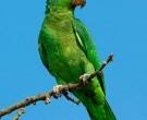 Amazona-Tamaulipeca-(5)