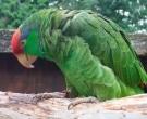 Amazona-Tamaulipeca-(7)