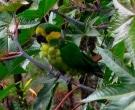Aratinga-Orejigualda-(3)