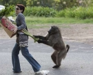 babuino1