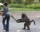 babuino2