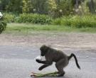 babuino5