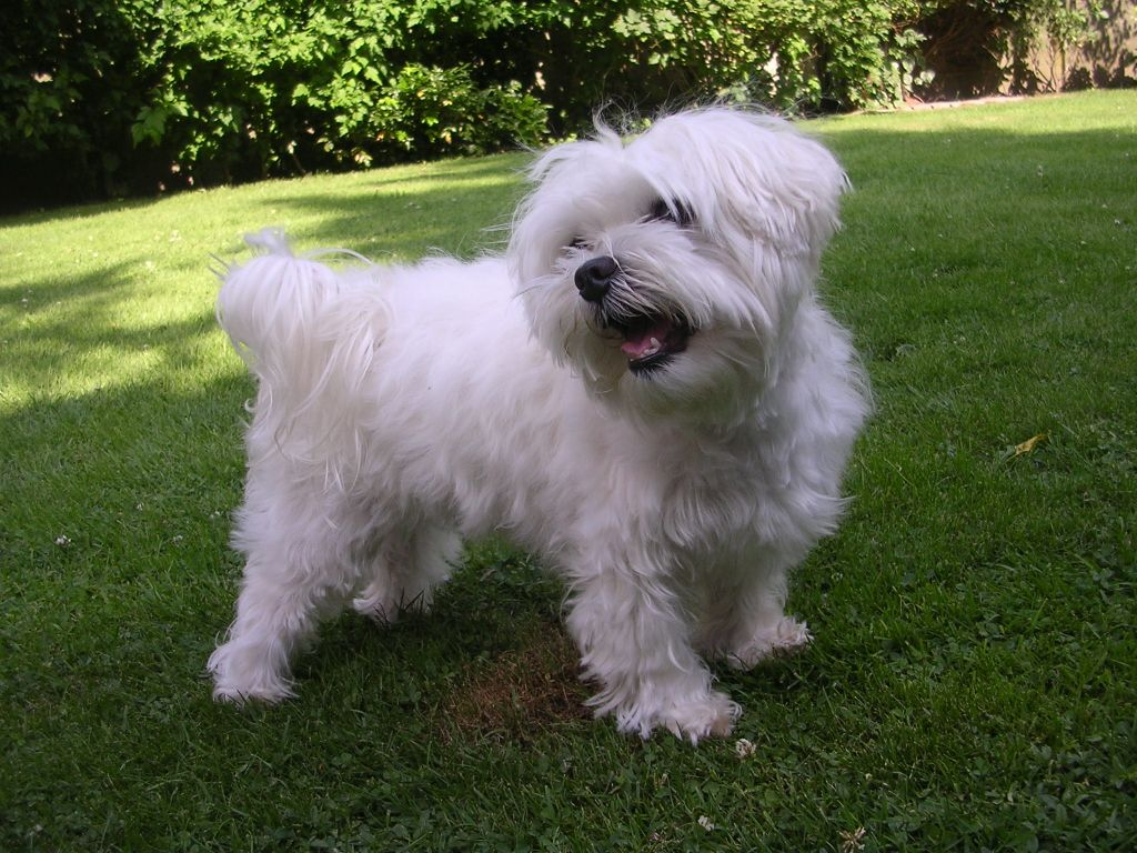 Maltese Dogs Breeds Pets