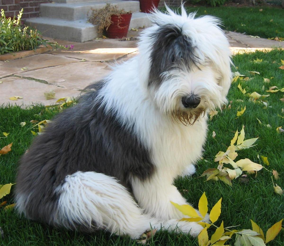 Old English Sheepdog - Dogs breeds