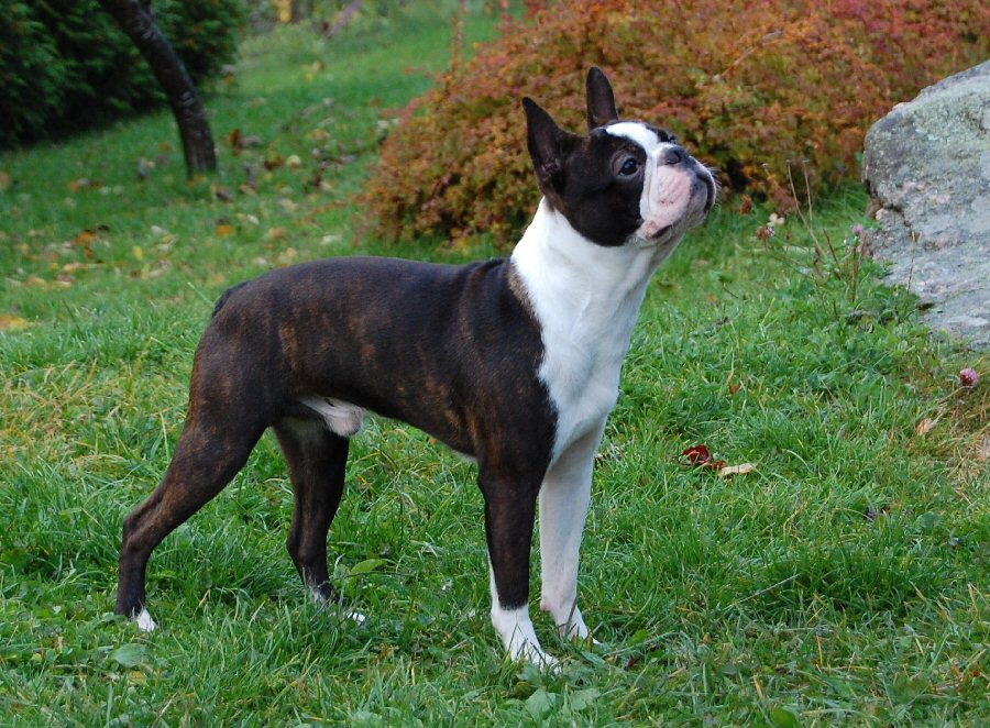 fat boston terrier fat boston terrier related keywords fat boston terrier 9161