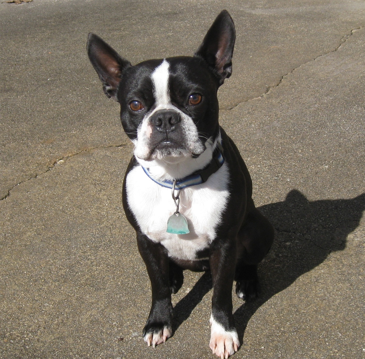 Boston Terrier - Races...