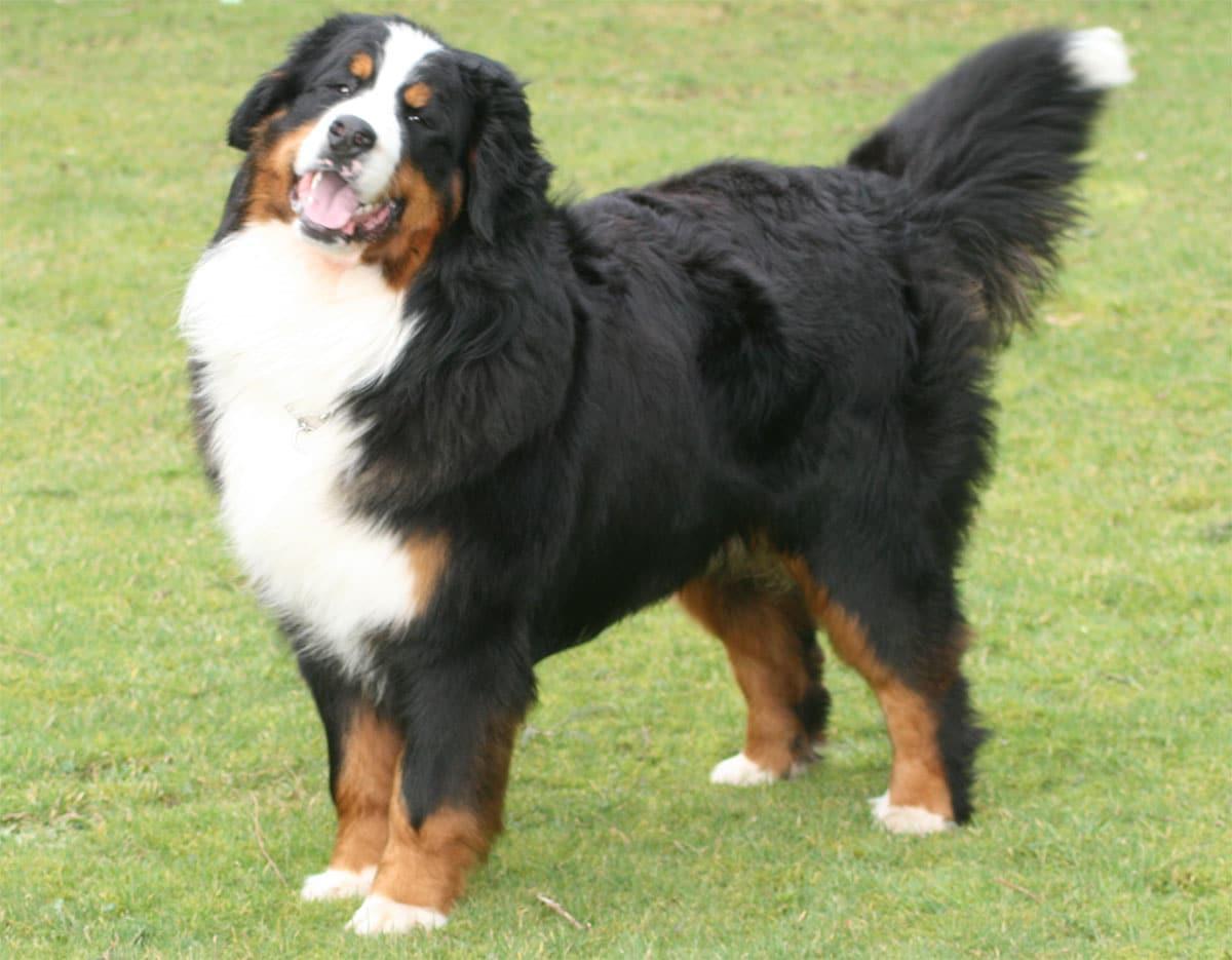 Boyero de Berna - Perro de Montaña Bernés -Razas perros | Mascotas