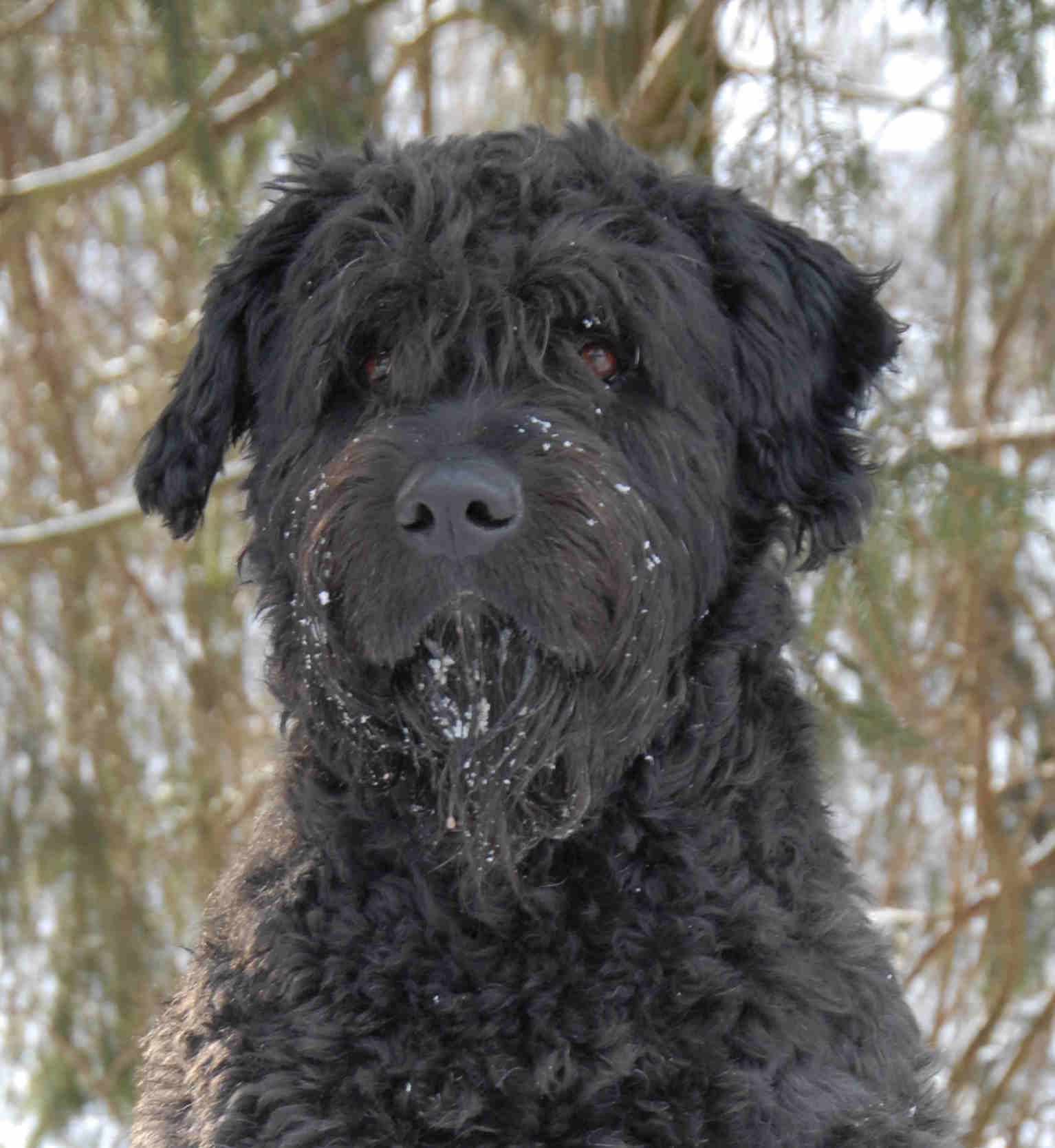 Bouvier Hund