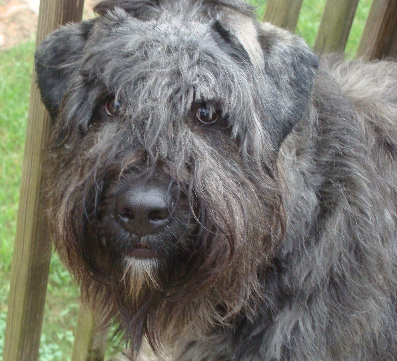Bouvier des Flandres - Dogs breeds   Pets