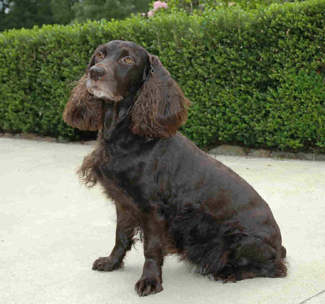 Boykin Spaniel Pantano Poodle Dogs Breeds Pets