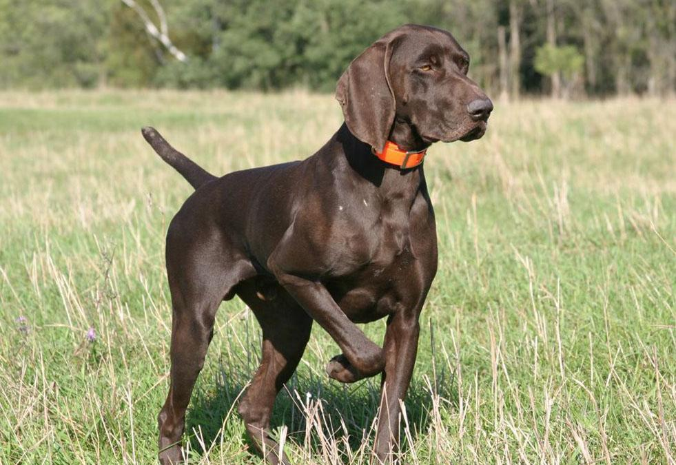 Dogs That Look Like German Shorthaired Pointer
