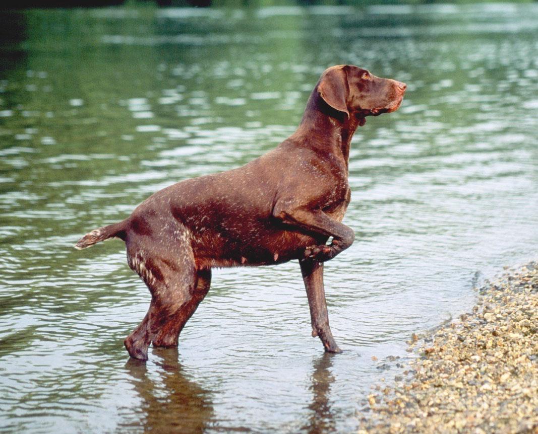 Deutscher Kurzhaariger Vorstehhund - Hunderassen   Haustiere