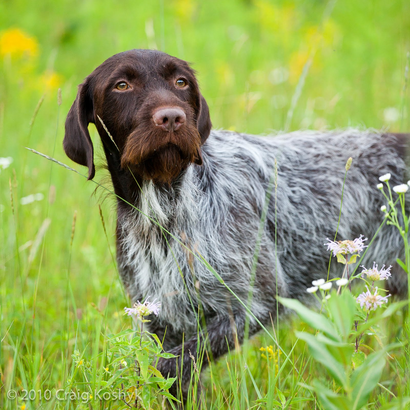 German Wirehaired Pointer - Dogs breeds | Pets