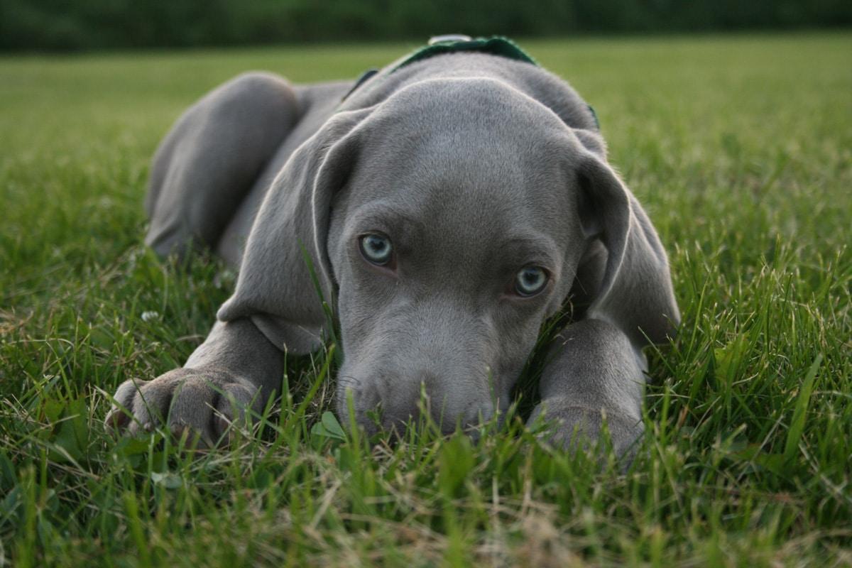 Weimaraner - Hunderasse   Haustiere