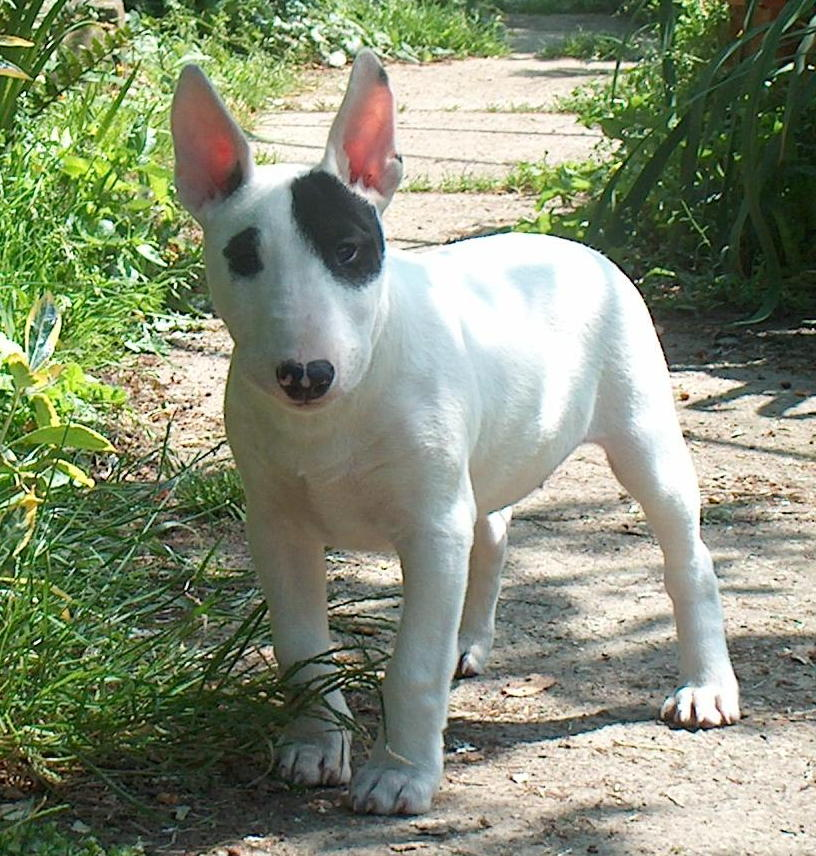 bull terrier picture bull terrier dogs breeds pets 3612