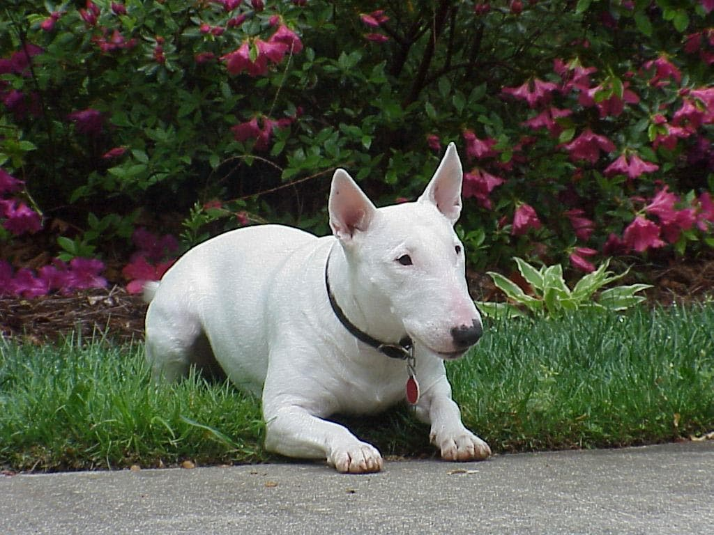 Bull Terrier - Dogs breeds | Pets
