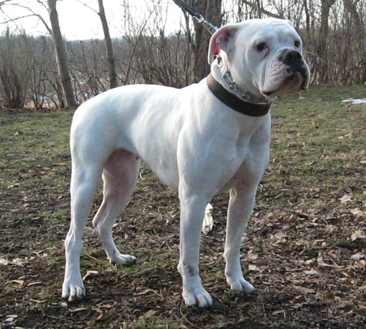 Dog Breeds American Bulldog