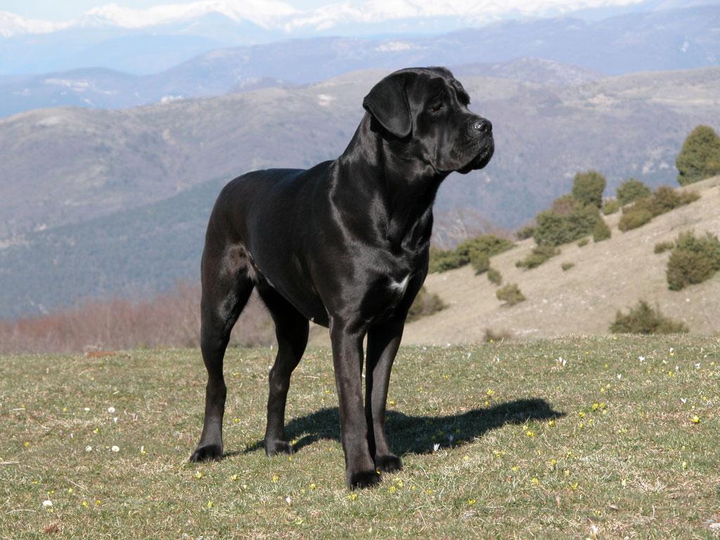 Cane Corso Ou Mastiff Italien Races De Chiens Animaux