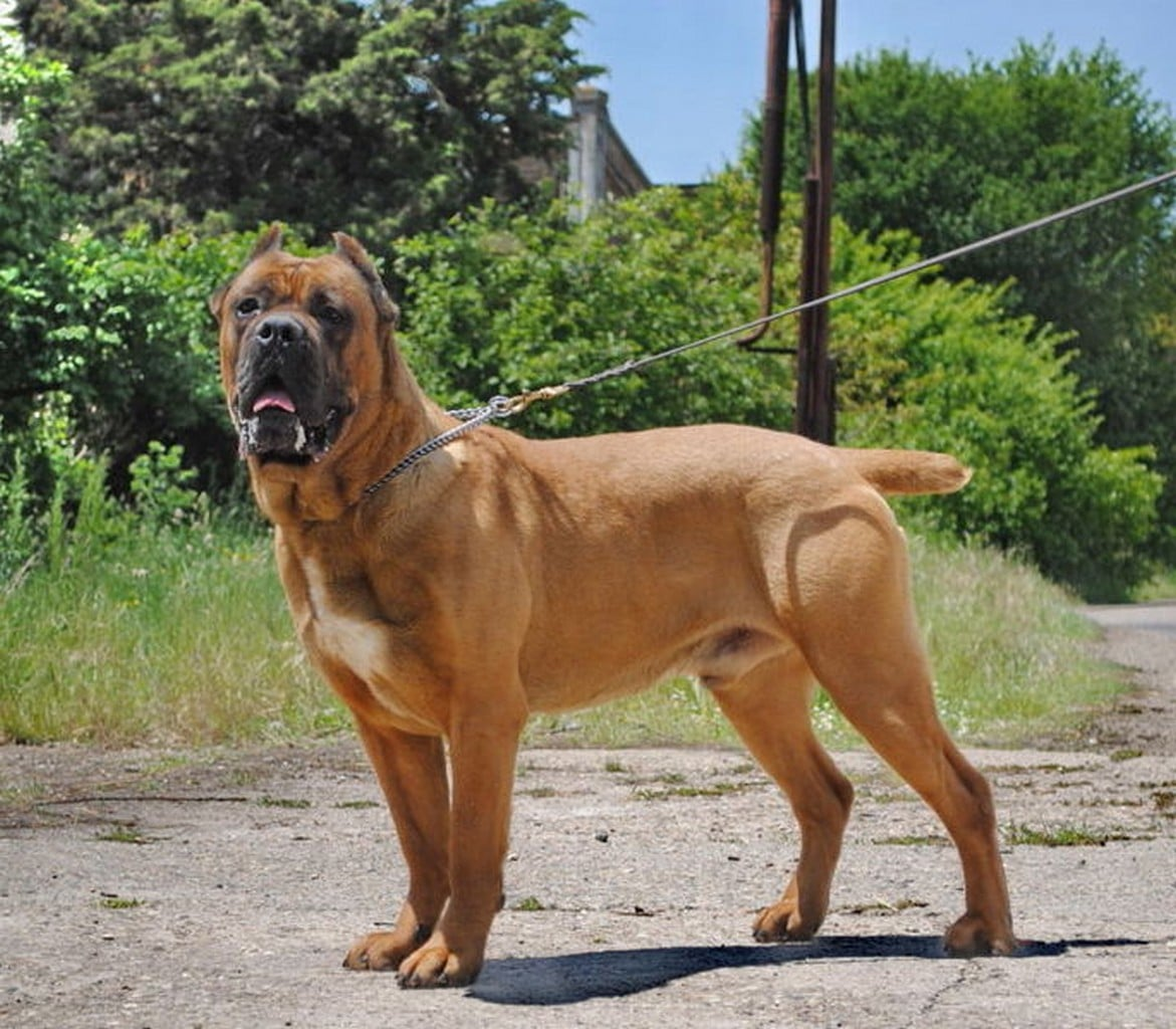 Cane Corso or Italian Mastiff - Dogs breeds | Pets