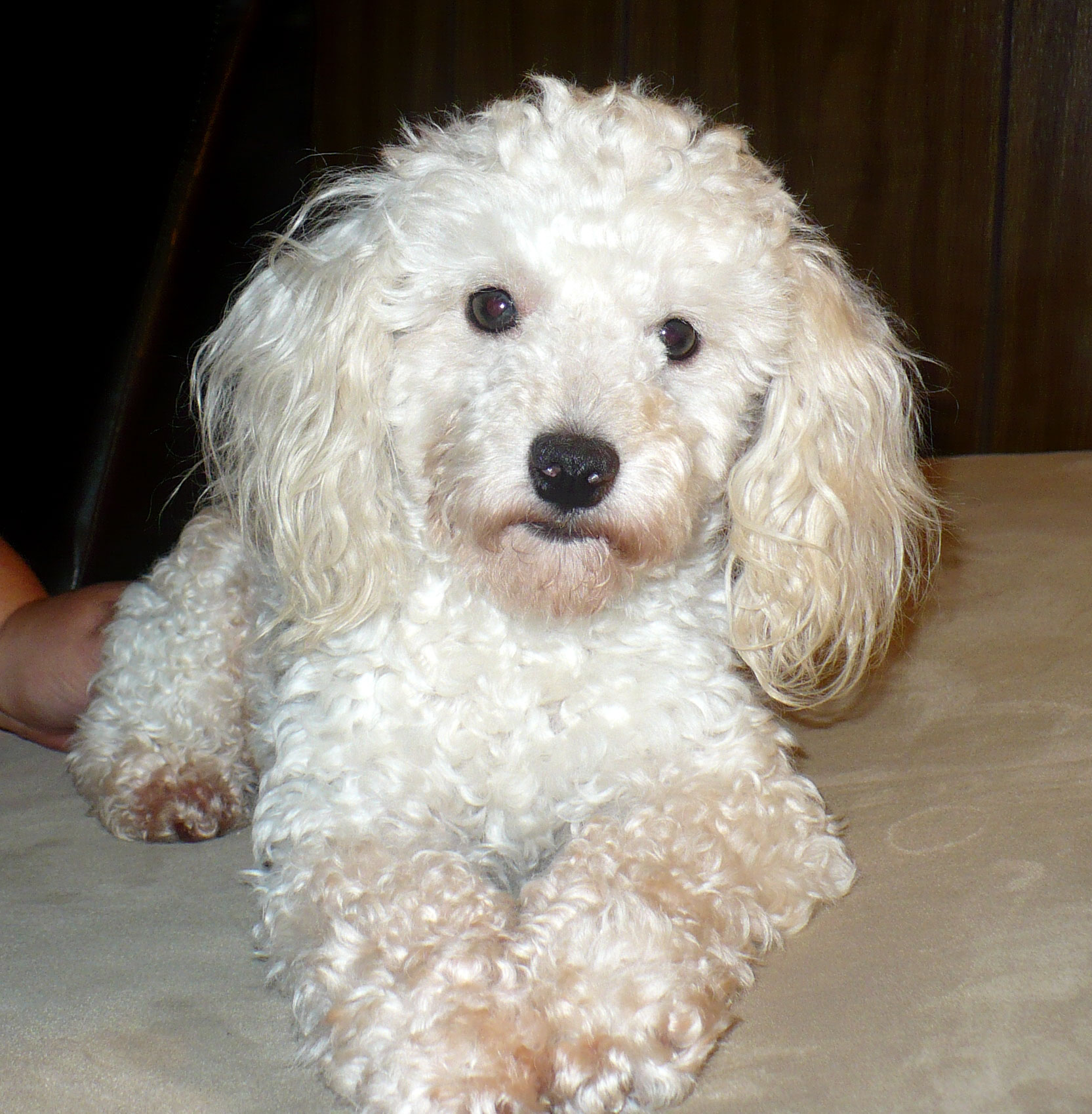 The Poodle Or Poodle Dogs Breeds Pets
