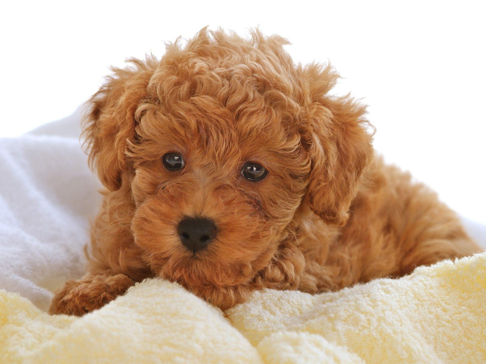 Le caniche ou caniche races de chiens animaux - Dessin caniche ...