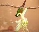 Cotorra-orejiblanca-(5)