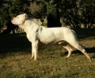 Dogo-argentino-3