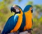 Guacamayo-azuliamarillo-(2)